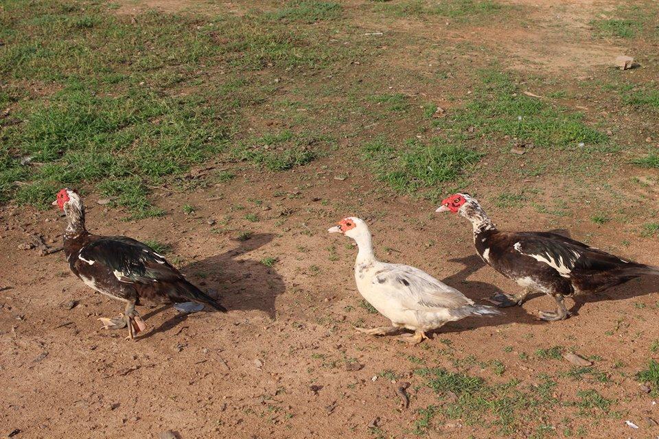Auf dem ganzen Areal begegnen wir immer wieder frei herumlaufenden Enten, Hühnern etc.