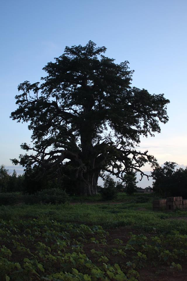 Aus den Früchten des Affenbrotbaums werden traditionelle Getränke zubereitet.