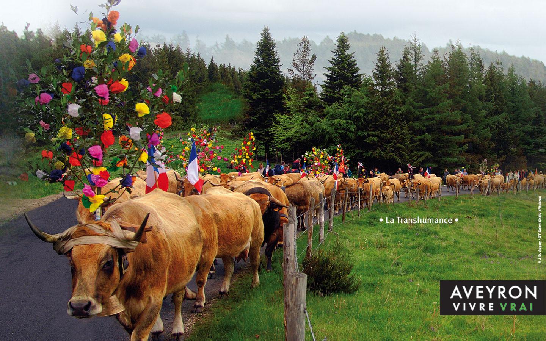 Transhumance de vaches de race Aubrac - Gite La Garde - Gagnac 12310