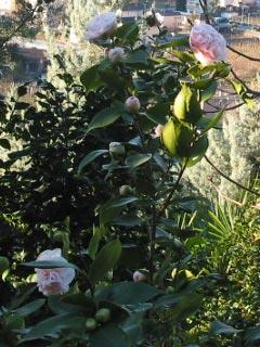 Kamelien - Tannenbaumplantage Wälchli Weihnachtsbäume Wäckerschwend