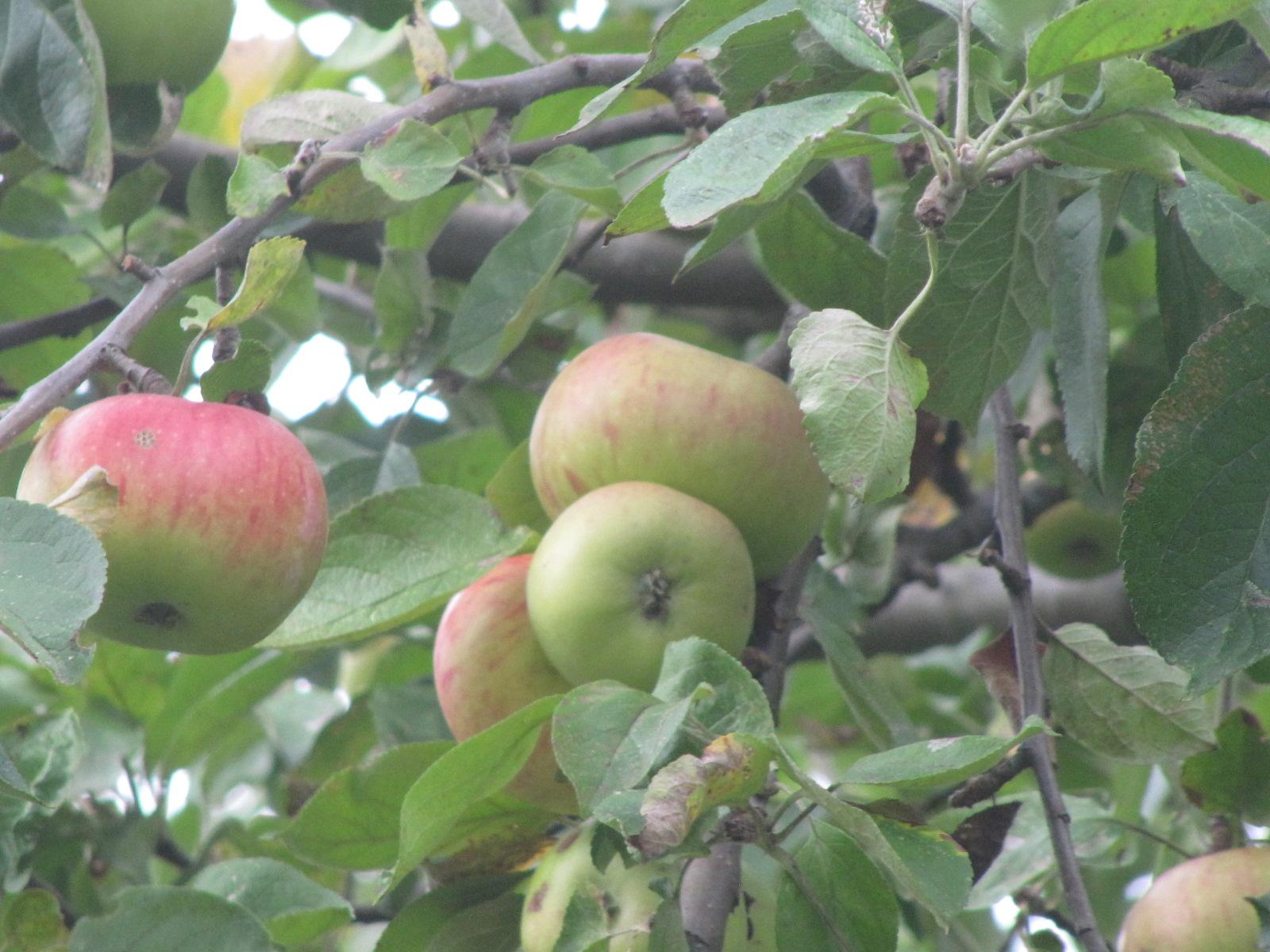 Wenn das Obst reif ist, wird es geerntet ...