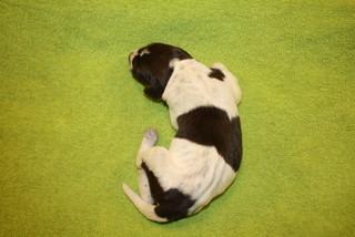 Pup 1; reu