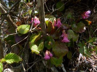 11:04 イワカガミも咲いていました