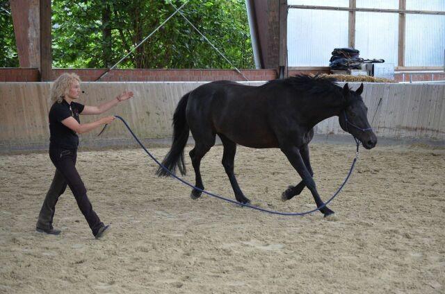 Die Stute lässt sich auch auf weitere Entfernung bewegen, ohne am Seil zu ziehen