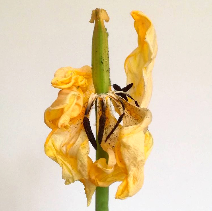 extrait d'une série sur les fleurs en fin de vie. Je vous avais prévenu,  choix de photos personnelles, pas forcément consensuelles...