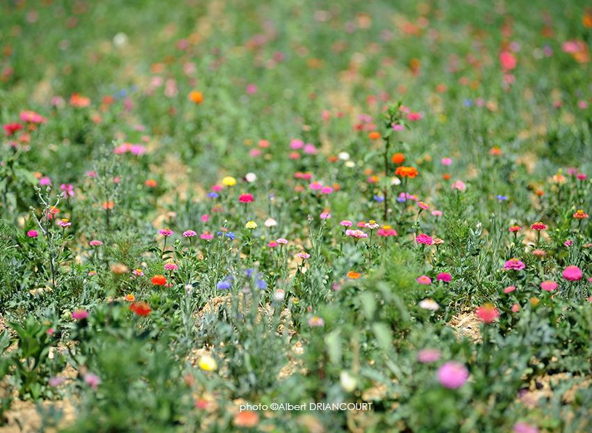 champ de fleurs avec perspective écrasée et faible profondeur de champ.