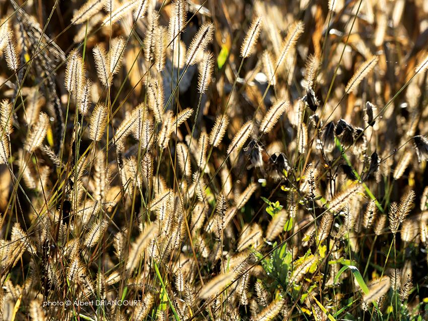 herbes au soleil couchant