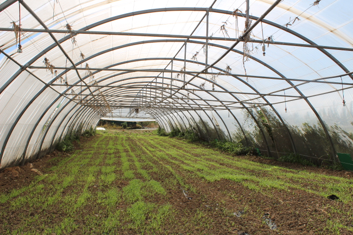 Semis d'engrais vert