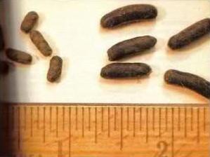 Izquierda: caquitas de chin estreñida; Derechoa: caquitas normales. Fuente:Fuente:chinchillassanmartin.es.tl
