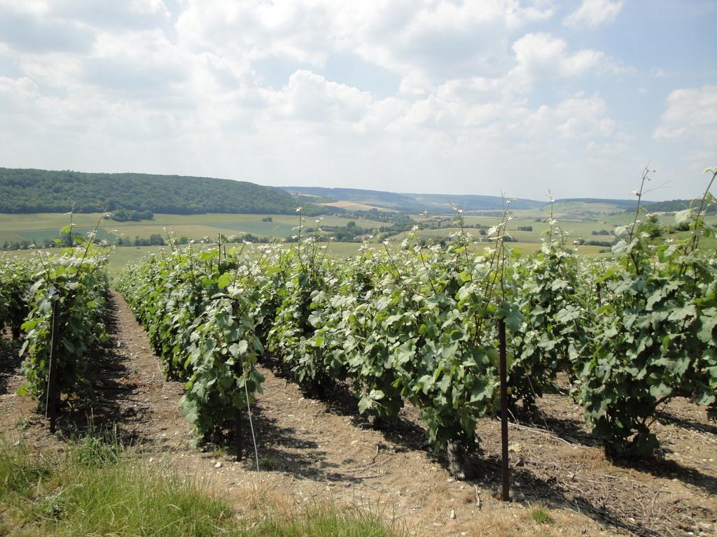 Les vignes de l'AOC champagne
