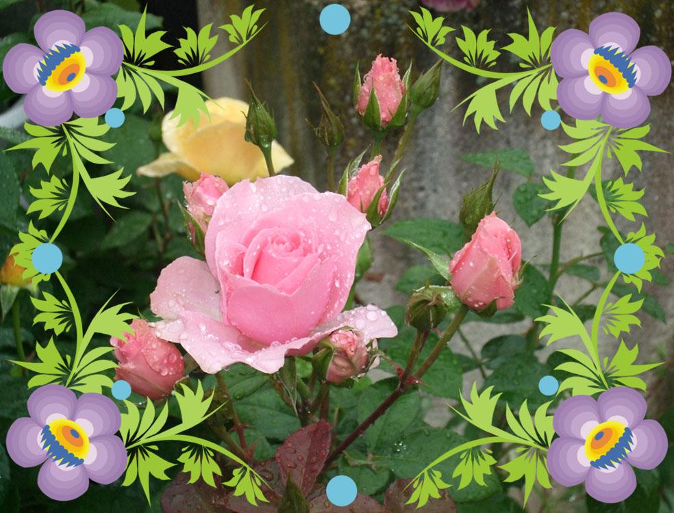 De magnifiques rosiers à 25€ le pot