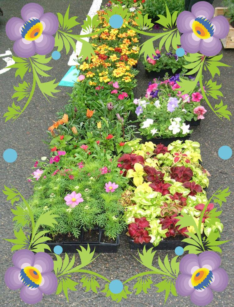 Des fleurs dont des géraniums lierre à 1€ le pied