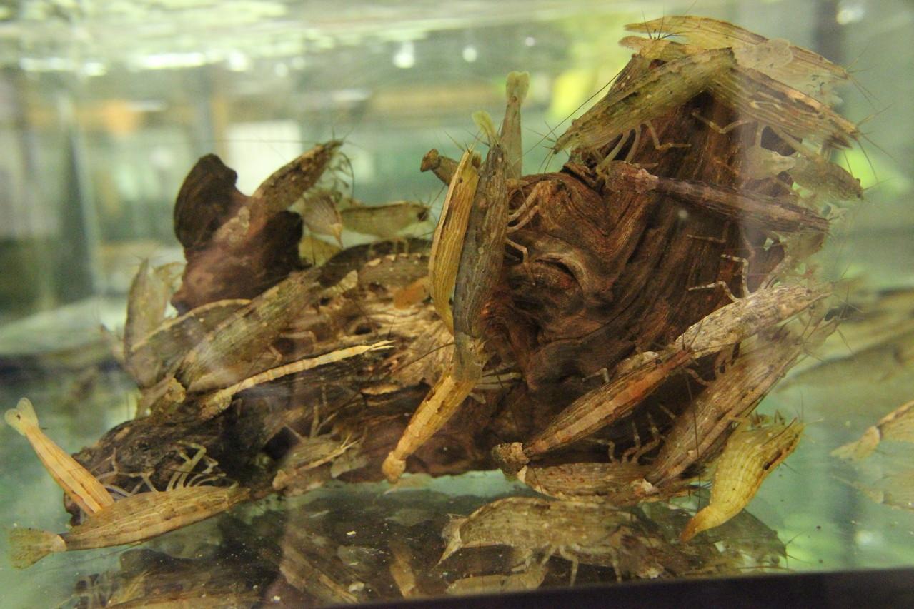 Fächergarnelen Atya mollucensis