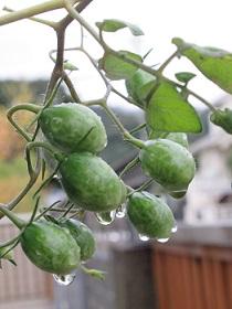 298円の苗から育ったミニトマト