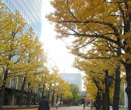 旧北海道庁前のイチョウ並木