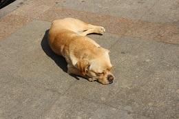 日向ぼっこする中国の犬。