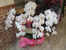 開店祝に白の胡蝶蘭
