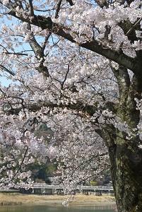 嵐山の桜 無料写真を使用