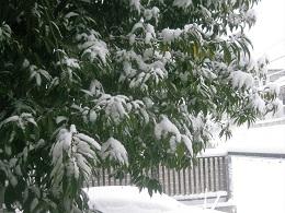 シラカシの枝も積もる雪にしなっている。