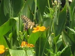 花の周囲を飛び続ける蝶。