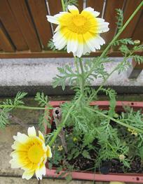 季節は巡り、今年も「春菊の花」