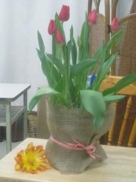 台の上に置いてある黄色い花は 八重咲のチューリップ