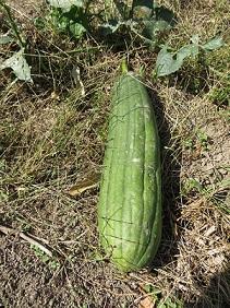 こりゃあ今年は植えとらんはずじゃが、たい肥から種が芽吹いた?