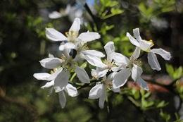 柿本神社に咲くカラタチの花