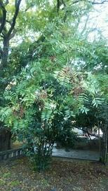 曲阜に子貢が植えたとされる槐の木の子孫
