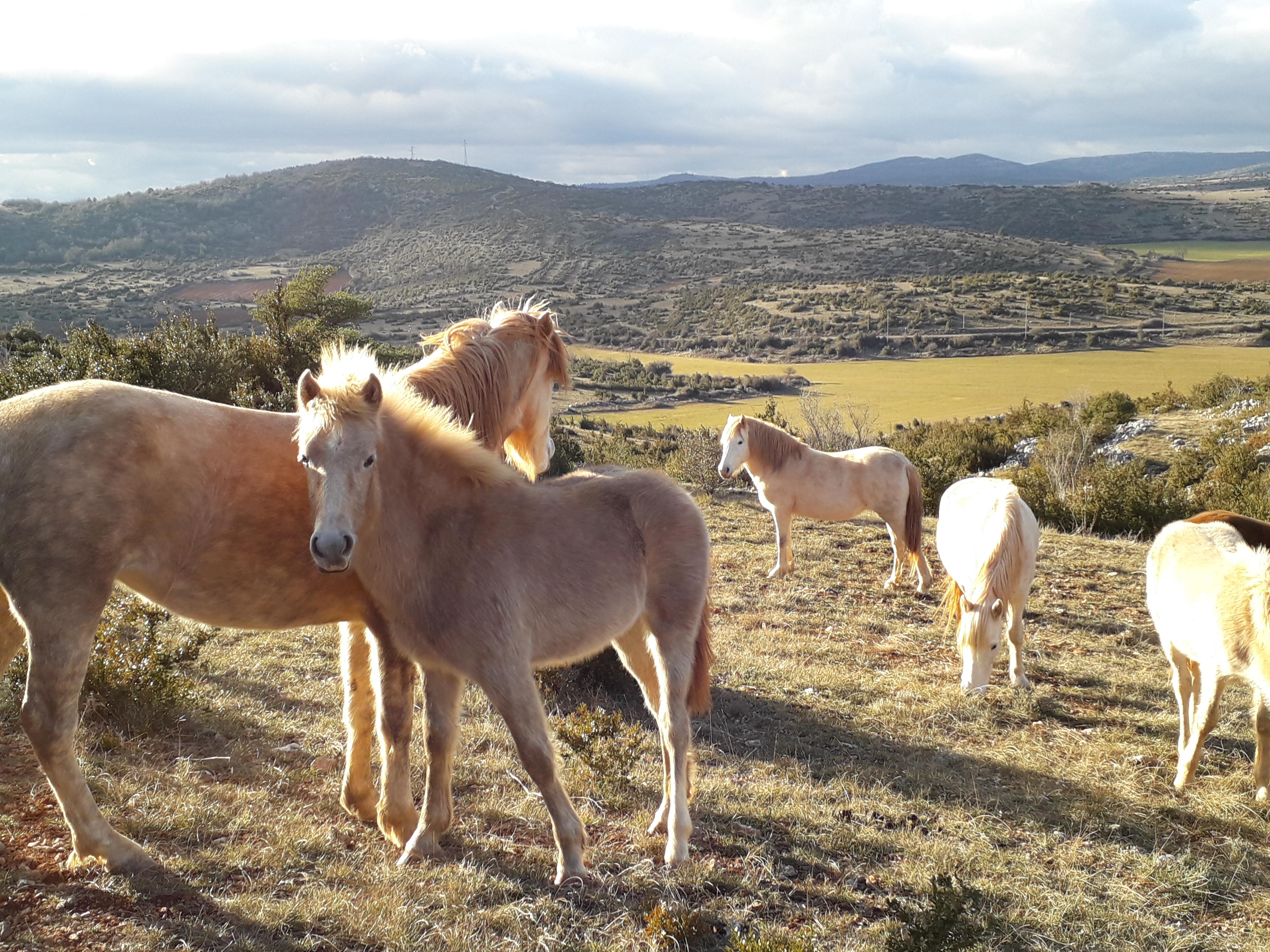 Cliquez sur la photo pour accéder à la page photos du troupeau de chevaux Camargues de Régagnas