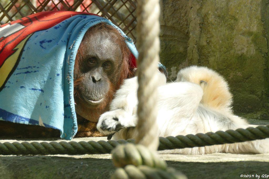 Borneo-Orang-Utan, Nördlicher Weißwangengibbon (Nördlicher Weißwangen-Schopfgibbon)