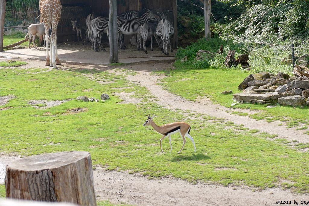 Säbelantilope, Rothschildgiraffe (Uganda-Giraffe, Baringo-Giraffe), Grévy-Zebra, Thomsongazelle
