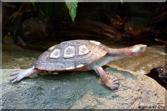 Rotbäuchige Spitzkopfschildkröte