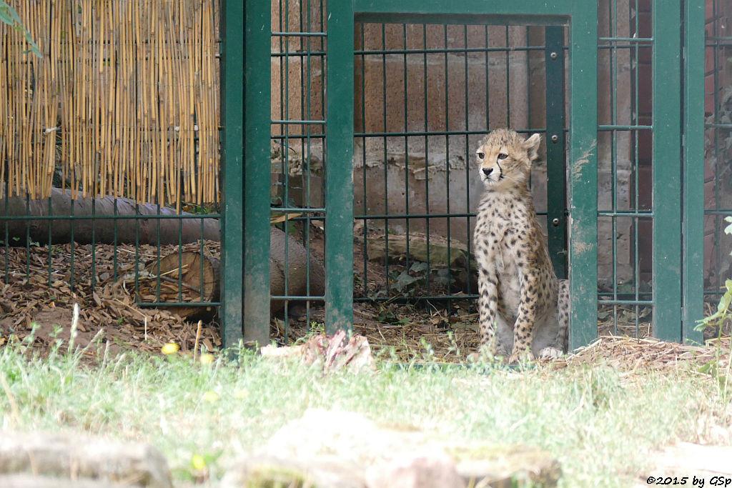 Nordöstlicher (Sudan-) Gepard, geb. am 9.5.15