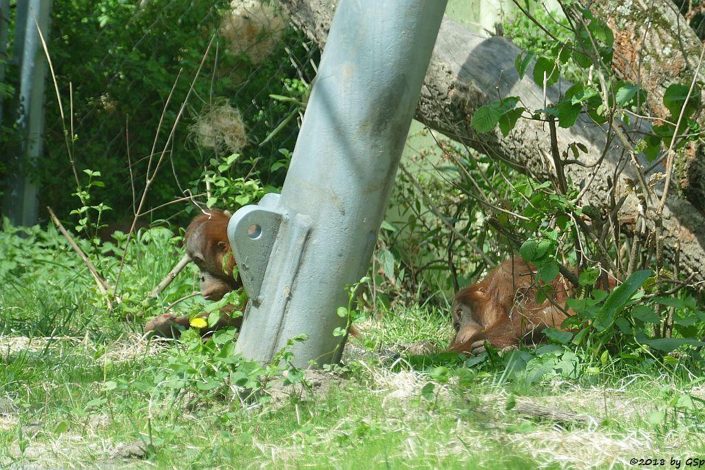 Sumatra-Orang-Utan SAYANG und INDAH