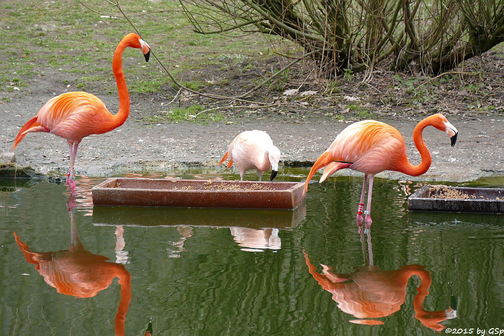 Chileflamingo und Kubaflamingo (Roter Flamingo)