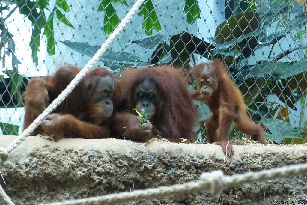 Sumatra-Orang-Utan LUCU, ROSA und SAYANG