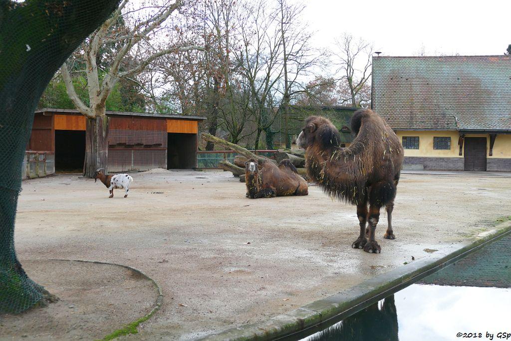 Afrikanische Zwergziege (Westafrikanische Zwergziege, Kamerun-Zwergziege), Trampeltier (Zweihöckriges Kamel, Hauskamel)