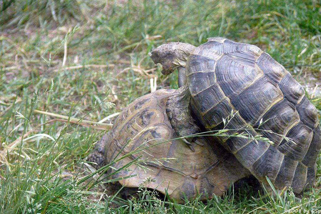 Griech. Landschildkröte, Maurische Landschildkröte