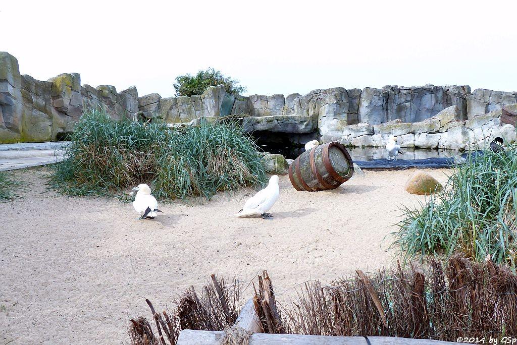 Anlage für Meeresvögel: Basstölpel, Kormoran