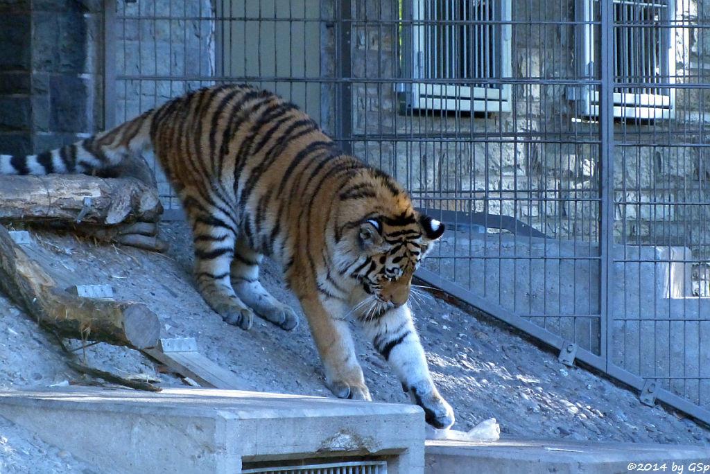 Sibirische Tigerin, geb. am 10.08.13