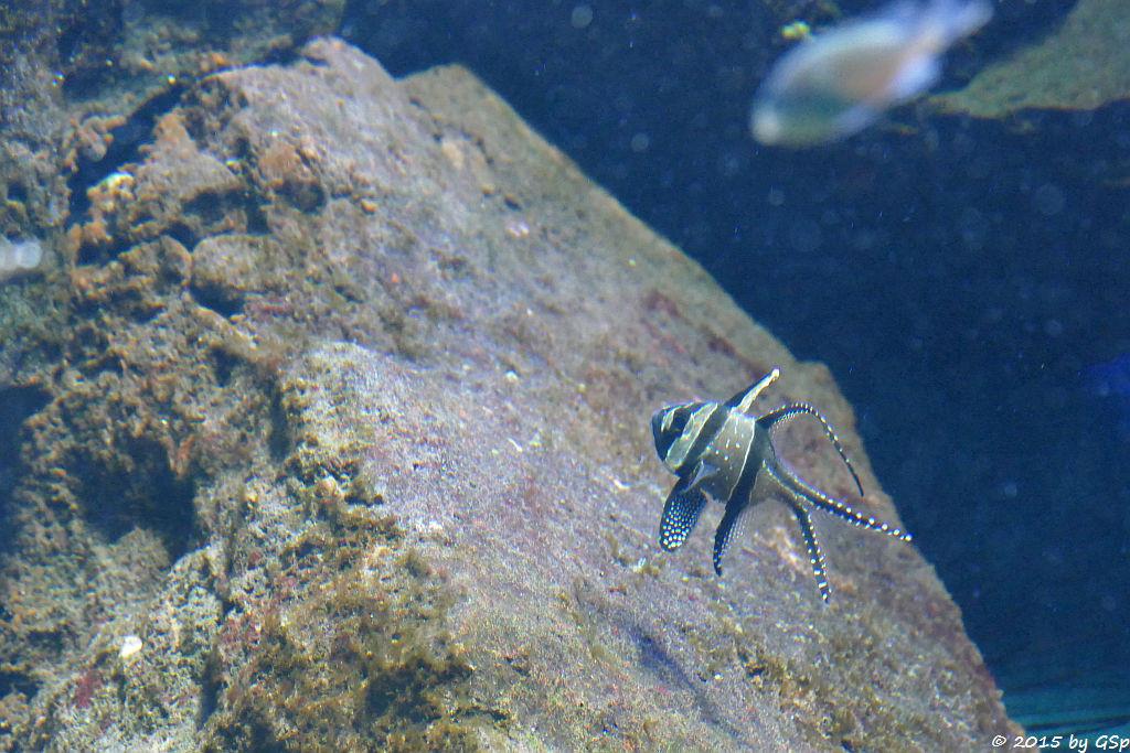 Banggai Kardinalfisch