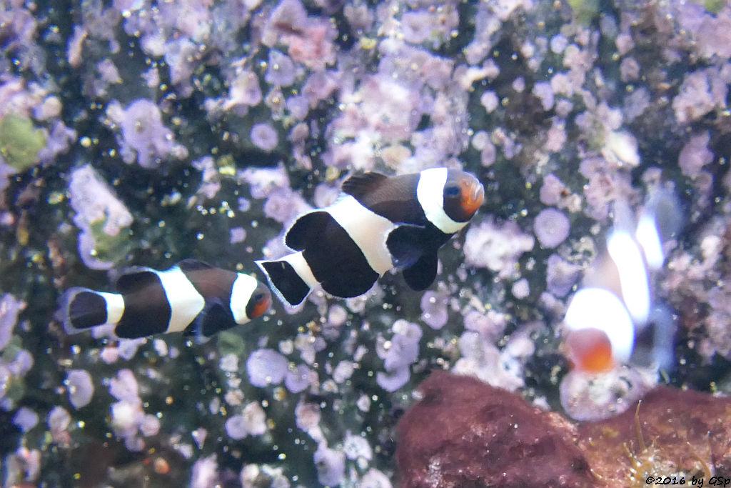 Westlicher(Falscher) Clownfisch ( Orangeringelrisch, Orange-Ringel-Anemonenfisch)