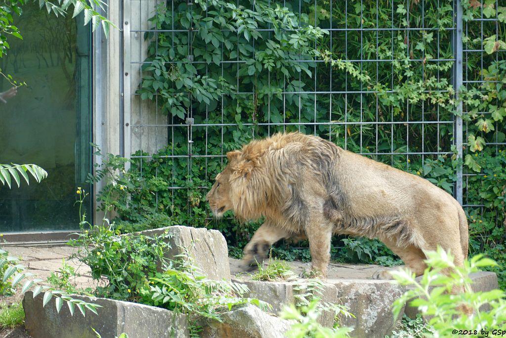 Asiatischer Löwe  (Indischer Löwe) NAVIN