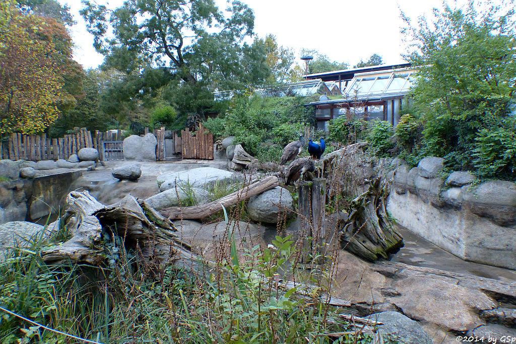 Flusspferd-Außenanlage, Blauer Pfau
