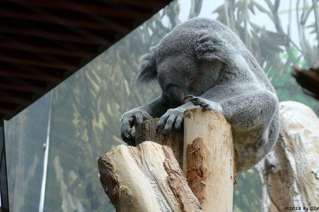 Queensland-Koala OOBI-OOOBI