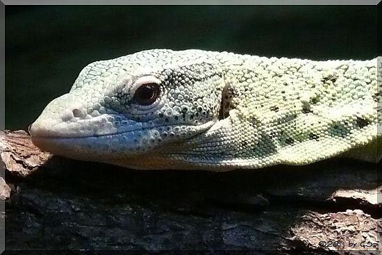 Smaragdwaran