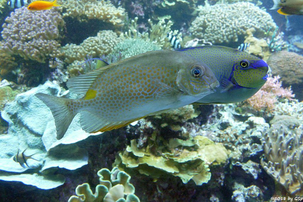 Goldfleck-Kaninchenfisch (Gefleckter Kaninchenfisch), Masken-Nasendoktorfisch (Vlamings Doktorfisch)