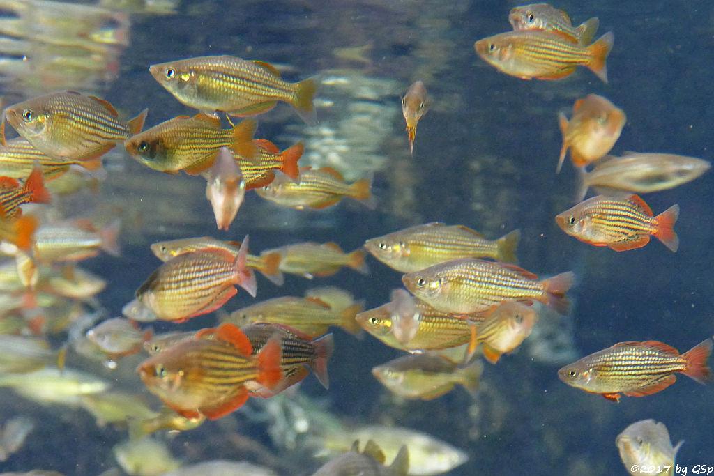 Zwergregenbogenfisch
