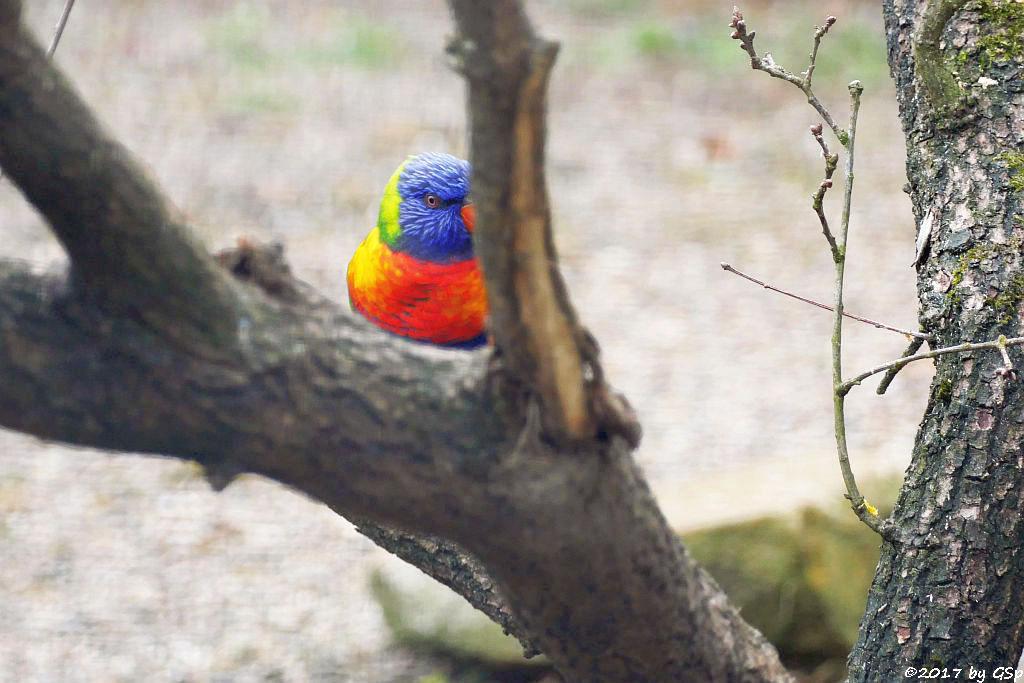 Regenbogenlori (Gebirgslori, Gebirgs-Allfarblori)